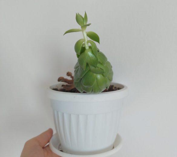 ... i sukulenti (Sempervivum spp.)